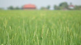 Рисовые поля на Tanjung Karang Selangor стоковая фотография rf