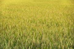 Рисовые поля предпосылки стоковые фото