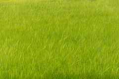 Рисовые поля с сочной зеленой предпосылкой Стоковое Изображение RF