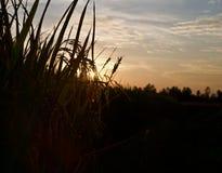 Рисовые поля с фото запаса силуэта листьев уникально стоковое фото rf