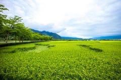 Рисовые поля Тайваня трассы 193 Стоковое фото RF
