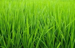Рисовые посадки Стоковое Изображение