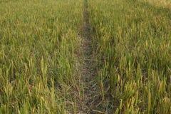 Рисовые посадки только перед сбором стоковые изображения
