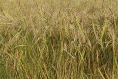 Рисовые посадки только перед сбором стоковая фотография