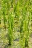 Рисовые посадки Стоковая Фотография