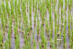 Рисовые посадки Стоковое Фото