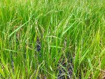 Рисовые посадки Стоковые Фотографии RF