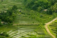 Рисовые поля Бали Стоковые Изображения