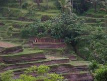 Рисовые поля Бали стоковое изображение