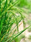 Рисовые поля в поле Стоковое Изображение