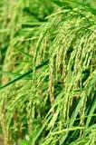 Рисовые поля в поле Стоковые Фотографии RF