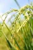 Рисовые поля в поле Стоковые Изображения RF