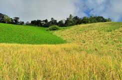 Рисовые поля в Таиланде Стоковые Фото
