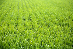 Рисовые поля в Tainan, Тайване Стоковое фото RF