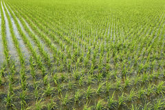 Рисовые поля в Tainan, Тайване Стоковые Изображения RF