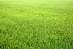 Рисовые поля в Tainan, Тайване Стоковое Фото