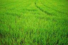 Рисовые поля, зеленое поле Стоковое Изображение