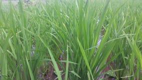 Рисовые поля Индонезии Стоковые Фото
