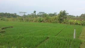 Рисовые поля Индонезии Стоковые Изображения RF