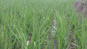 Рисовые поля Индонезии Стоковое Изображение