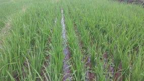 Рисовые поля Индонезии Стоковая Фотография RF