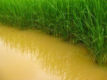 Рисовые поля и вода Стоковая Фотография
