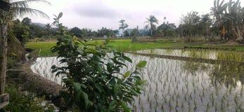 Рисовые поля на деревне Marakau Стоковое Фото