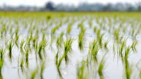 Рисовые поля на Sungai Besar, Малайзии Стоковое Изображение RF