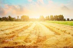 Рисовые поля после сбора и некоторые все еще растя вверх в утре или выравнивая предпосылку времени Стоковое Изображение RF
