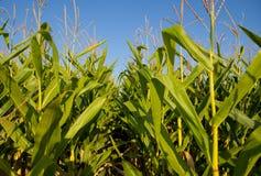 Рисовые поля против голубого неба Стоковые Изображения RF