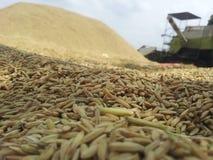 Рисовые поля сбора Стоковые Фото