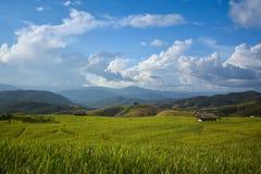 Рисовые поля с голубым небом Стоковая Фотография