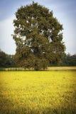 Рисовые поля с деревом мать 2 изображения дочей цвета Стоковое Фото