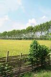 Рисовые поля 1 Стоковые Изображения