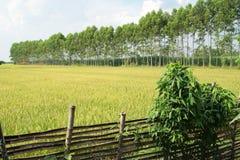 Рисовые поля 1 Стоковая Фотография