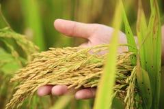 Рисовые поля стоковое фото rf