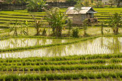 Рисовые поля Стоковое Изображение
