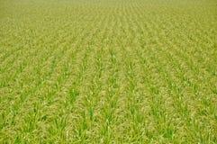 Рисовые поля Стоковая Фотография