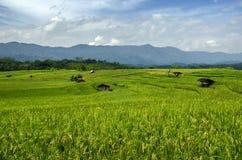 Рисовые поля Стоковые Фото