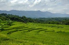 Рисовые поля Стоковая Фотография RF
