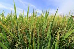 Рисовые поля Rippening Стоковое Изображение RF