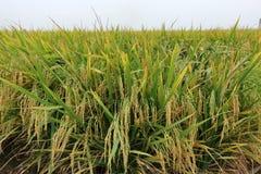 Рисовые поля Rippening Стоковые Фото