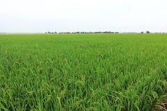 Рисовые поля Rippening Стоковая Фотография