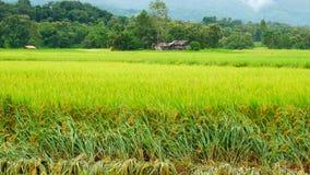 Рис взгляда зеленый с горой сток-видео
