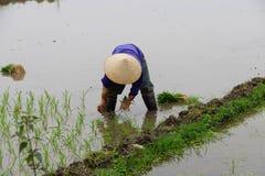 Рис въетнамской женщины трансплантируя Стоковые Фотографии RF
