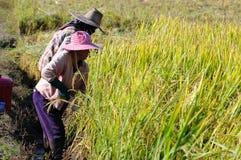 рис вырезывания хранят хуторянином, котор Стоковое фото RF