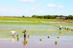 Рис выросли фермерами, который в поле Стоковые Фотографии RF