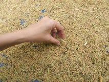 Рис высушенный рудоразборкой желтый Стоковая Фотография RF