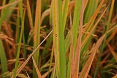 Рис выходит заболевание под правильное состояние для патогена, высокую влажность стоковое изображение