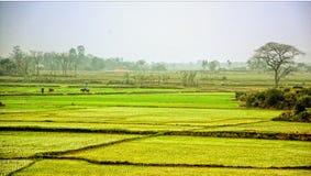 рис Вьетнам поля Стоковое фото RF